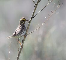 Juvenille Sparrow by c painter
