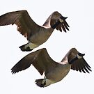 Pair, Canada Geese in Flight by c painter