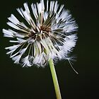 Dandelion Days by Laurie Minor