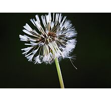 Dandelion Days Photographic Print