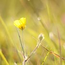 Buttercup by lorrainem