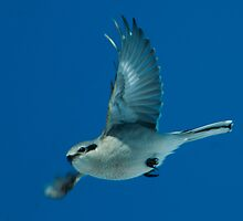 Northern Shrike in Flight by Bryan Shane