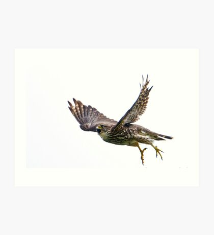 Adult Merlin in Flight on the hunt to feed new chicks.  Art Print