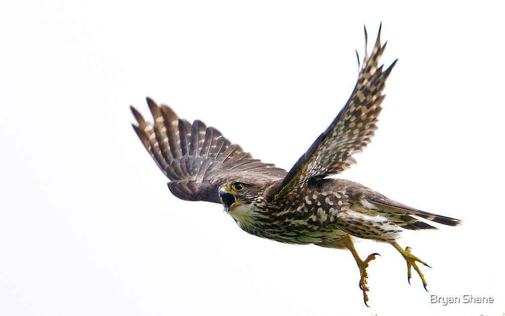 Adult Merlin in Flight on the hunt to feed new chicks.  by Bryan Shane