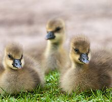 Goslings at Slimbridge by Steve  Liptrot