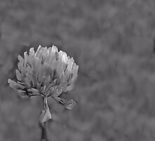 Wildflower Clover - Daily Homework - Day 5 - May 11, 2012 by aprilann