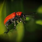 The Little Red Lily Beetle by Mark Hughes