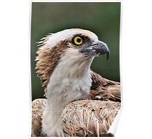 Osprey (Profile) Poster
