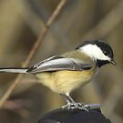 Chicadee checking out the new lens... by gregsmith