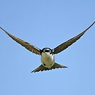 Tree Swallow in flight by Gregg Williams