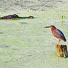A Tricolor Heron & An Alligator by Diego Re