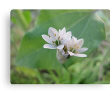 Siberian Quill Lilly  Metal Print