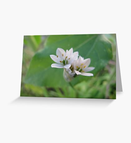 Siberian Quill Lilly  Greeting Card