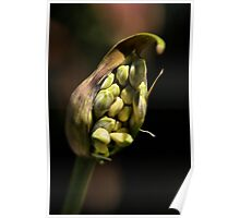 Agapanthus Flower Buds Poster