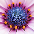 Osteospermum by PhotoTamara