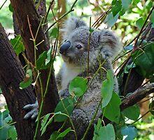 Baby Koala by DarthIndy