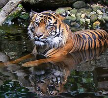Sumatran Tiger Keeping Cool In Summer by Margaret Saheed