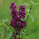 Blooming Lilac Twiglet by karina5