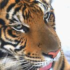 Tiger up close and personal by mechelle142