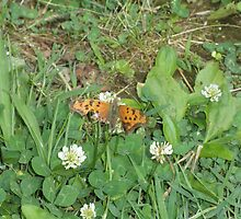 Fritillary Orange Butterfly On Clover by ack1128
