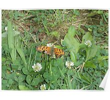 Fritillary Orange Butterfly On Clover Poster