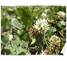 Honeybee on clover Flower Poster