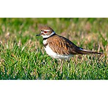 Killdeer Shorebird Photographic Print