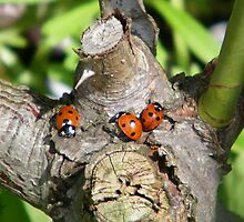 Trio of Ladybirds by LoneAngel