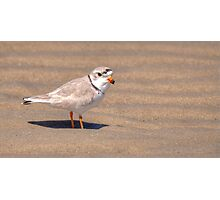 Piping Plover Shorebird Photographic Print