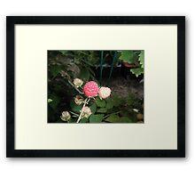 Rasberry in our garden Framed Print