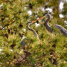 Kissing Herons  by Monte Morton