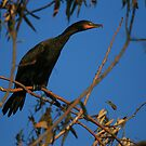 """""""  Double - Crested Cormorant  """" by fortner"""