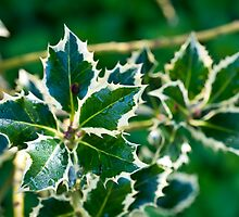 Holly leaves by David Isaacson