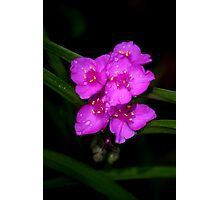 Pink Spiderwort Photographic Print