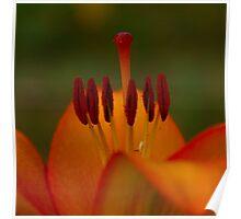 Lily orange  Poster