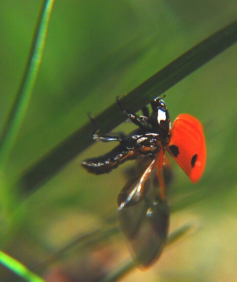 Ladybird just before flight by mechelle142