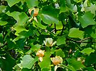 Tulip Poplar Tree in Flower - Liriodendron tulipifera by MotherNature