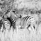 A Zebra's embrace by Gavin Poh