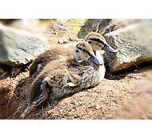 Baby Duckies  Photographic Print