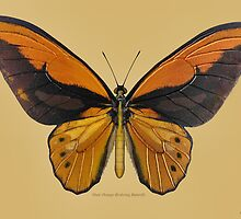 Male Orange Birdwing Butterfly by Walter Colvin