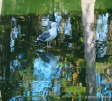 Seagull stands and reflects by David Denny