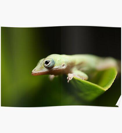 Green Anole (Anolis carolinensis) Poster