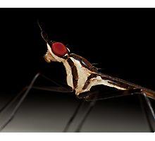 Banana stalk fly (Teleostylinus lineolatus) Photographic Print
