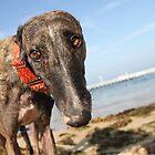 Beach Bum Hollie by GreyhoundSN