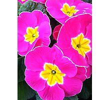 Pink Primrose Photographic Print