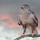 Ferruginous Hawk at Dusk by Barbara Manis