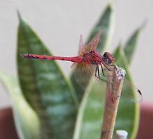 Red dragonfly by Panayiotis Zavros