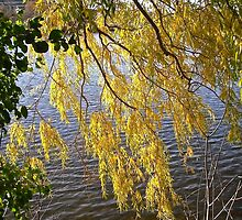 Overhanging  Willow leaves by Shulie1
