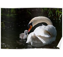 First swim! swan chick and male swan, Tinnahich, County Carlow, Ireland Poster