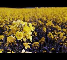 A Field of Yellow by Debbie McGowan CAMMAYC Photography